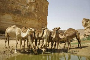 camels_drinking_495_330